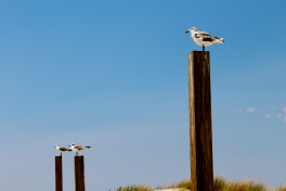 Three Seagulls